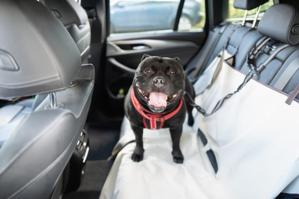 dog in the backseat of car